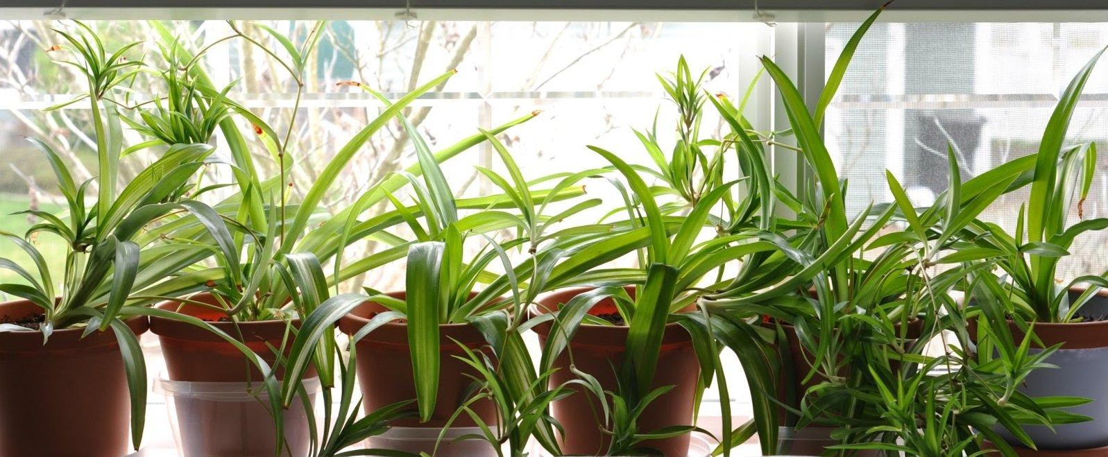 spider plant fresh air
